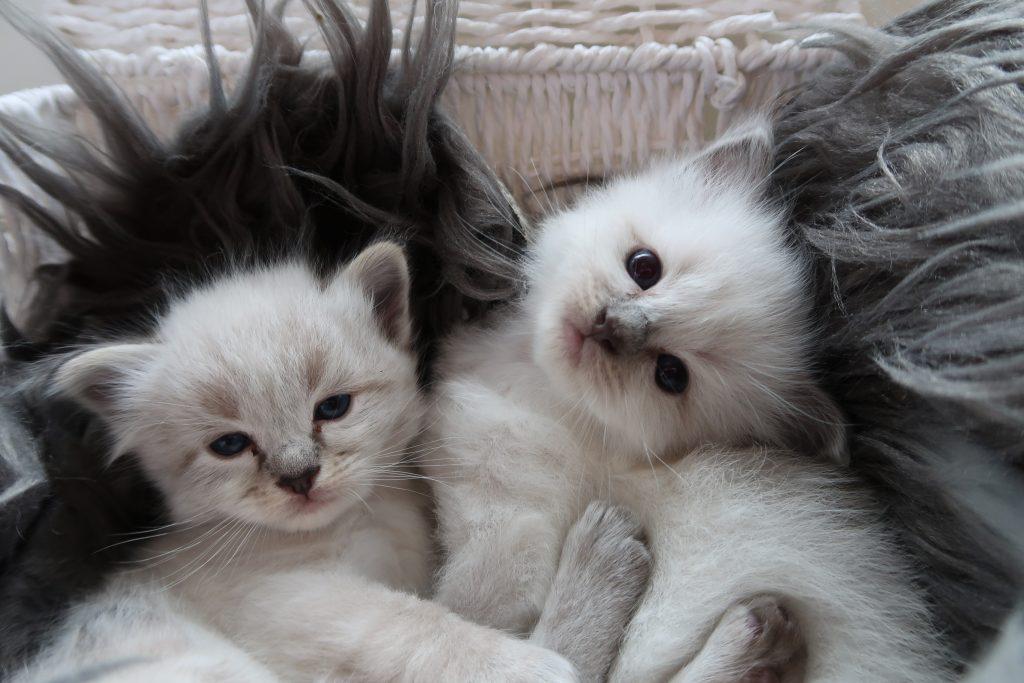 Ragdoll Cattery Burdoll kittens