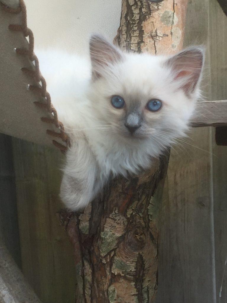 Ragdoll Cattery Burdoll kitten